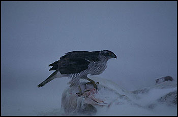 Goshawk.   Photo: Jan Johansson